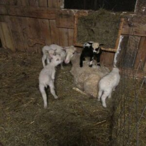 Finn Ewe with Quintuplets (2) 415x415