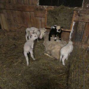 Finn Ewe with Quintuplets (2) 415x415