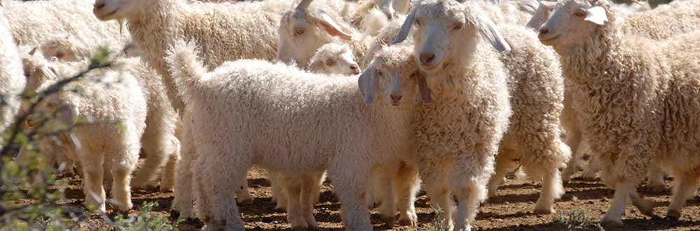 bigstock-Flock-Of-Angora-Goats-7708814
