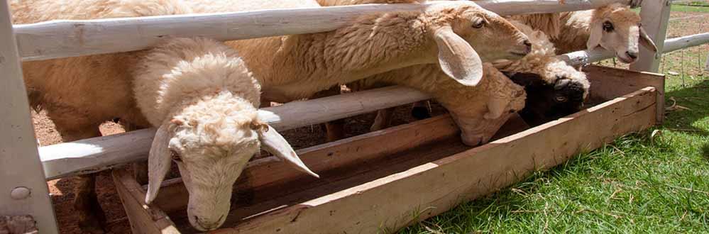 bigstock-Group-Of-Sheep-In-Farm-47012233
