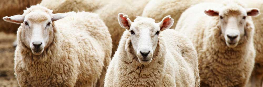 sheepfaces.jpg