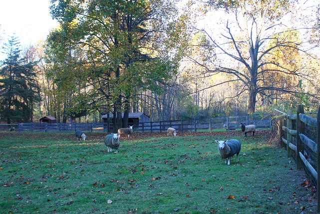 Ewes Grazing in Pasture (2) 641x428