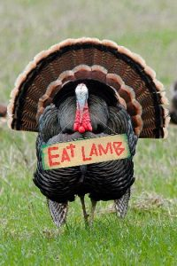 Turkey with Eat Lamb sign 350 x 525